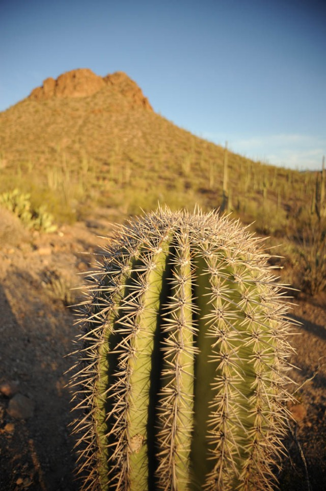 Saguaro cacti at sunset