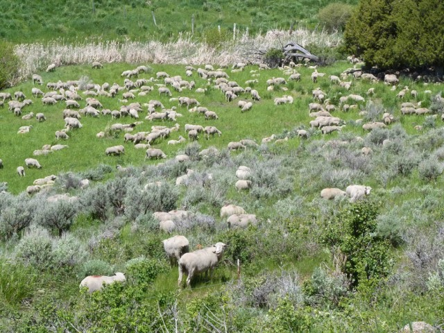 You never know what's around the next corner. In this case sheep in the Tex Creek Wildlife Management Area.