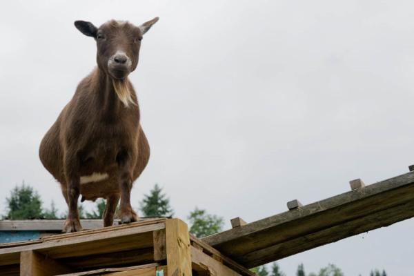 Nice goat, goat.