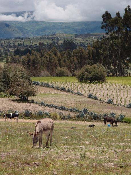 The Ronquillo's farm near Pujilí & Latacunga.