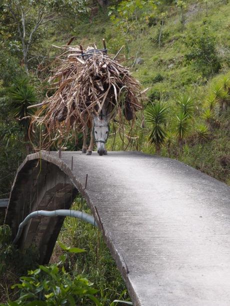 A donkey carrying sugarcane over a footbridge in Vilcabamba.