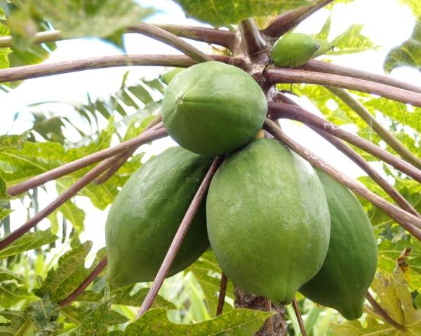 Papayas.