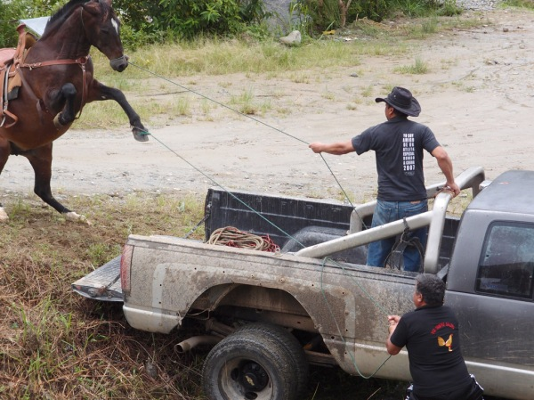 Meanwhile, some difficulty getting a horse into a truck.