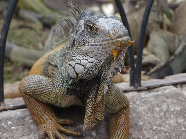 An iguana still showing signs of the recent fight with several other iguanas over a fresh mango.