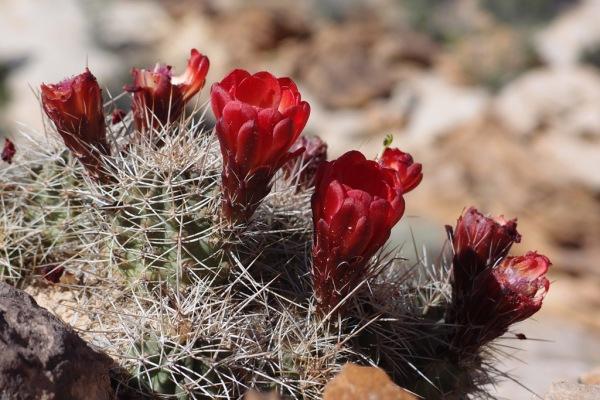 Cacti in bloom.
