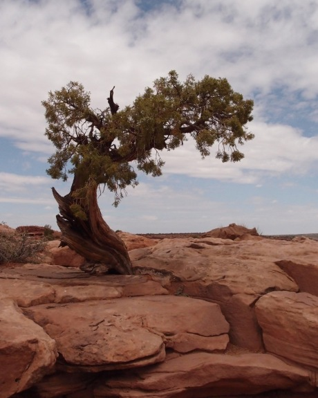 A hardy Junpier tree, which commonly live to be 350-700 years old here.