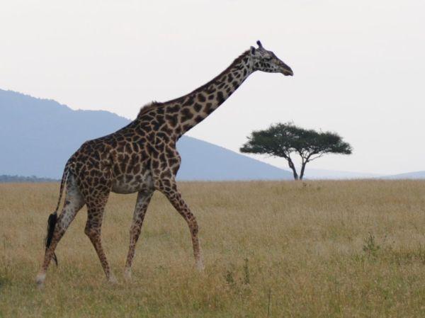 Giraffe.