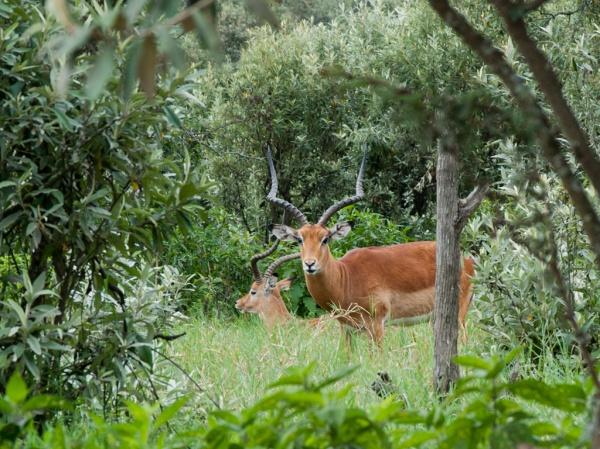 Gazelles hiding in the brush.