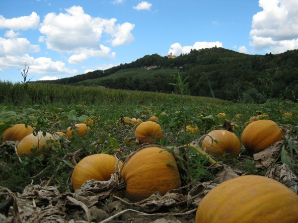 A pumpkin patch near Maribor, Slovenia.
