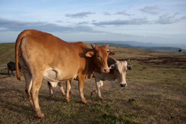 Some of Richard's cows enjoy the evening light over the Ngong Hills.