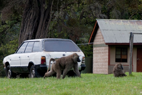 Baboons roam freely around the buildings of the park headquarters.