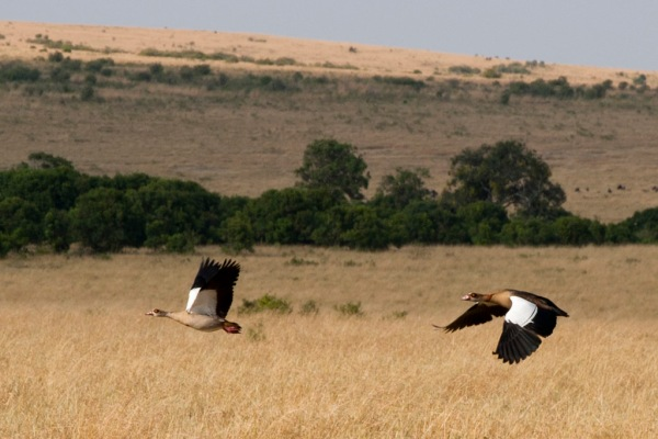 Egyptian Geese in flight over the Savanna.