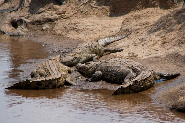 Crocodiles basking on the bank of the Mara River.