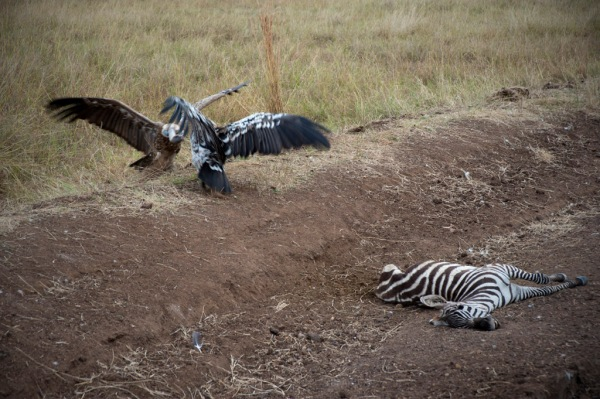 Two vultures fight over the remains of a Zebra while a dozen others circled in the sky above.