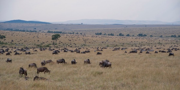 Millions of Wildebeests dot the Savanna in every direction.
