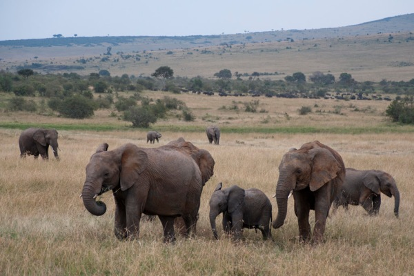African Savanna Elephants, who can live to be 65-70 years old. Strangely their age is limited by their teeth; similar to humans they have several sets of teeth that emerge at various points in their life. Once the last ones wear away the elephants can no longer eat and die of starvation.